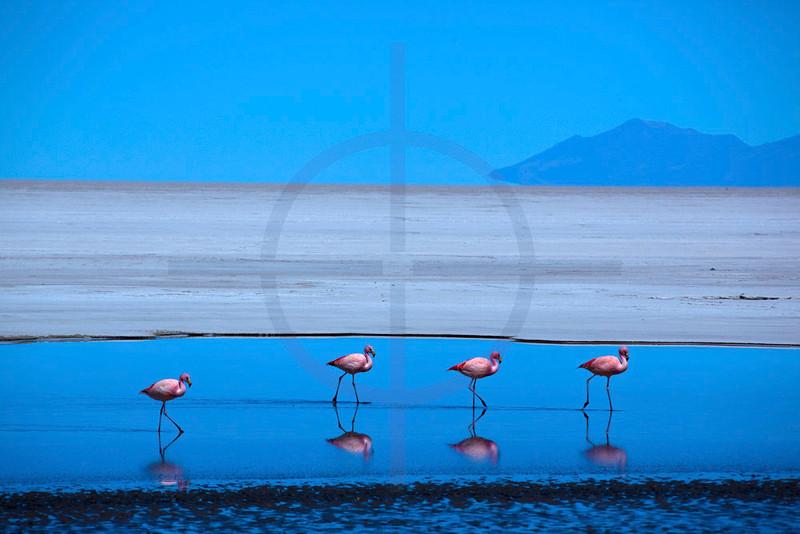 James's flamingos, Salar de Uyuni, Potosí, Bolivia