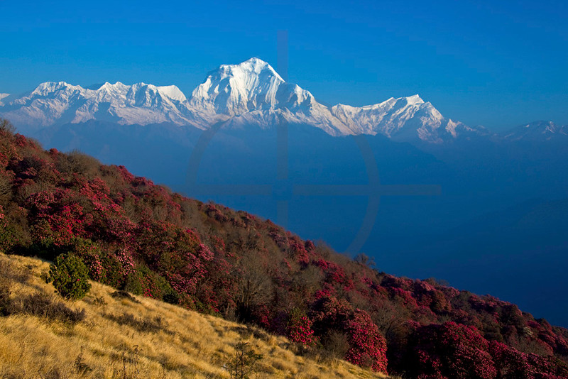 Dhaulagiri and Tukuche Peak with grasses and blooming rhodondendrons in front, in between Poon Hill and Ghorepani, Annapurna Massif, Nepal