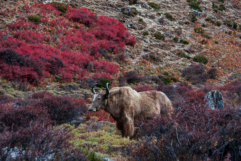 Yak amidst the colors of fall, Dingboche, Solukhumbu District, Nepal