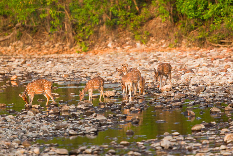 Spotted deer (does and fawns) coming to a river for a morning drink, Royal Bardia National Park, Nepal