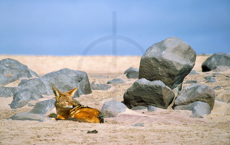 Black-backed jackal at rest, Cape Cross, Namibia