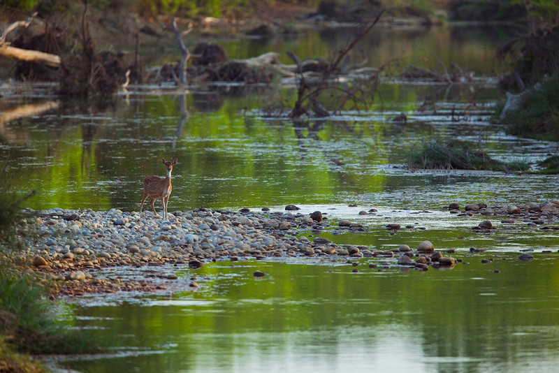 Lone spotted deer (doe) by river, Royal Bardia National Park, Nepal