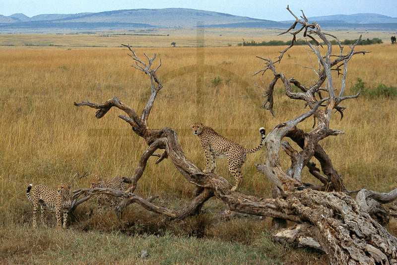 Cheetahs at a play tree, Masai Mara National Reserve, Kenya