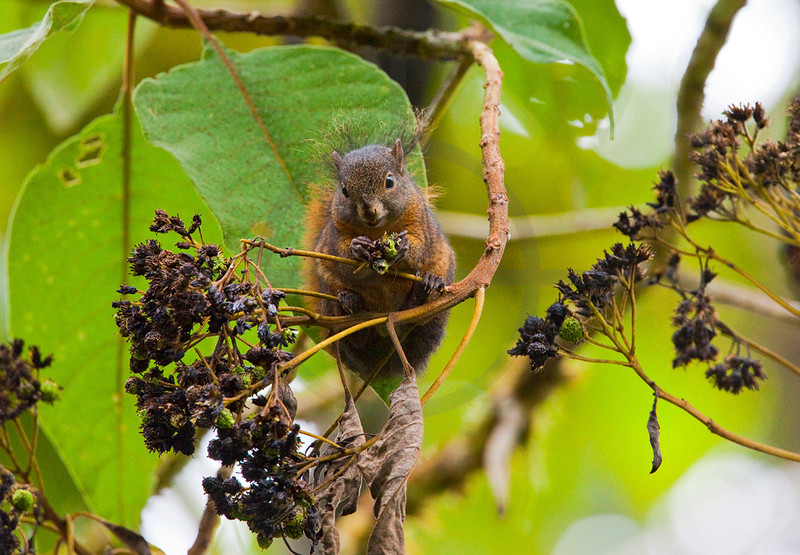 Amazon dwarf squirrel feeding, Cabañas San Isidro Forest Reserve, Ecuador