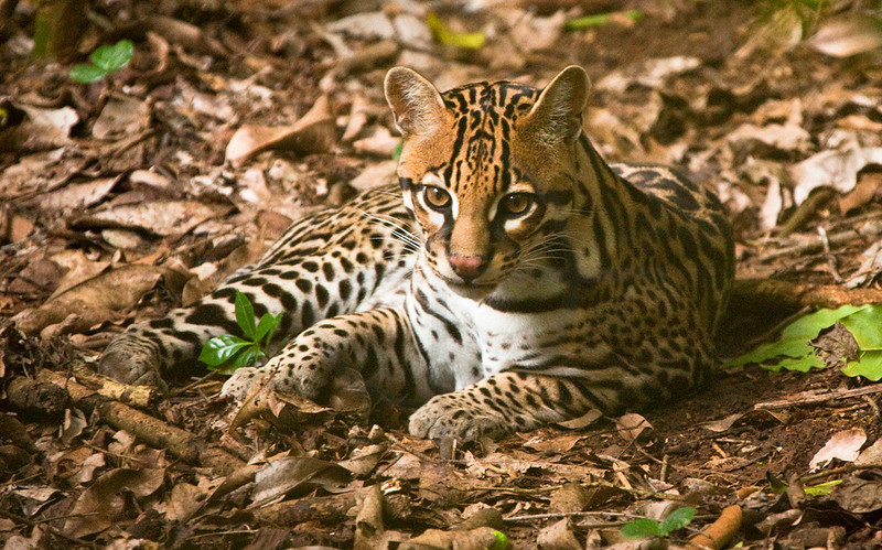 Ocelot at rest, Zoo Ave, La Garita de Alejuela, Costa Rica