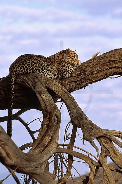 Leopard at rest, Samburu National Reserve, Kenya