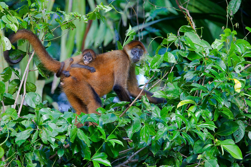 Spider monkey and young, Tortuguero National Park, Costa Rica