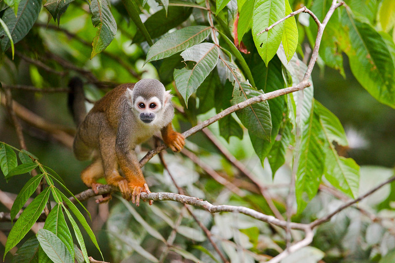 Common squirrel monkey, Yasuni National Park, Ecuador