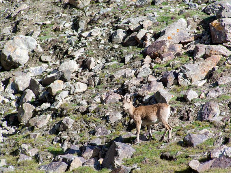 Wild goat or feral goat (female), near Moskvina Base Camp, Pamir, Tajikistan