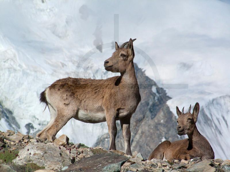 Wild goats or feral goats (female), near Moskvina Base Camp, Pamir, Tajikistan