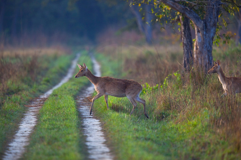 Swamp deer (does) crossing, Royal Bardia National Park, Nepal