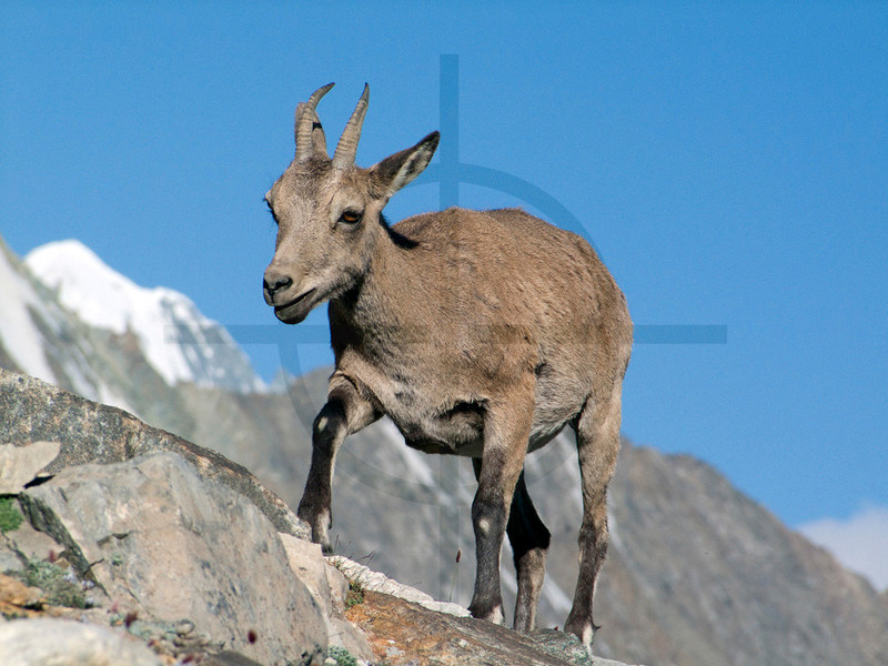 Wild goat or feral goat (female), near Moskvina Base Camp, Pamir, Tajikistan