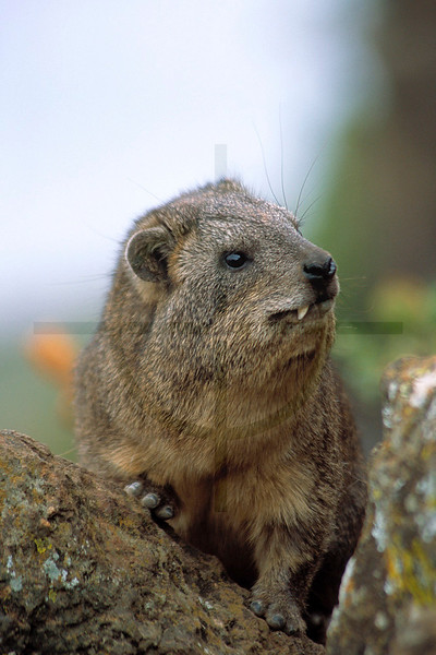 Yellow-spotted rock hyrax, Baboon Cliff, Nakuru National Park, Kenya