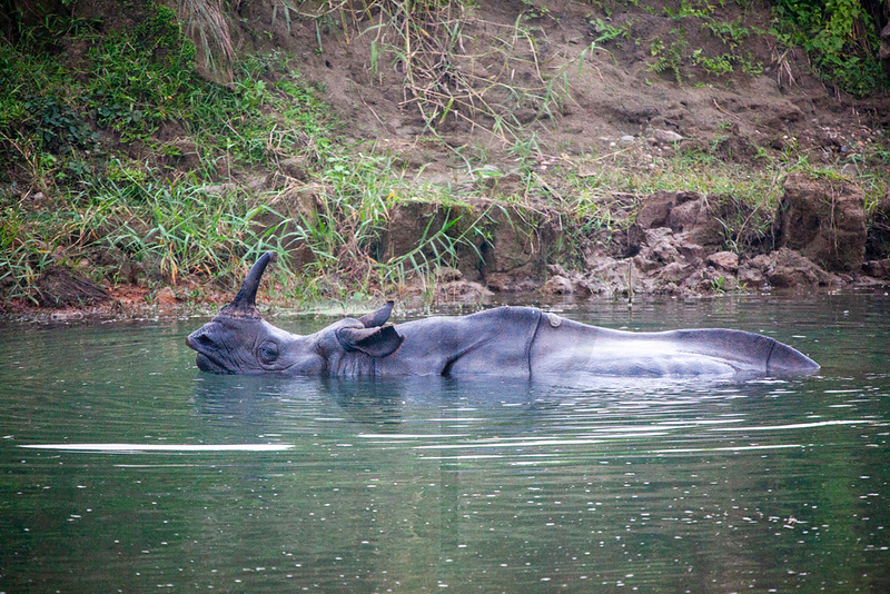 Indian rhinoceros having a bath, floodplains of the Rapti River, Nepal