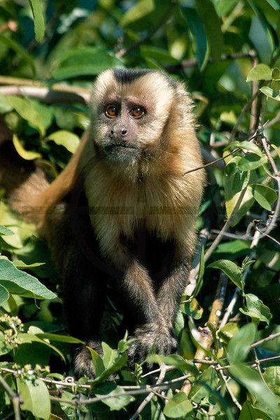 Brown capuchin monkey, Yacuma River, Bolivia