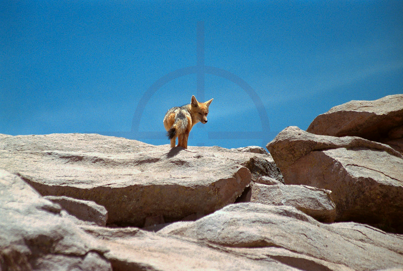 Andean fox, Lauca National Park, Chile