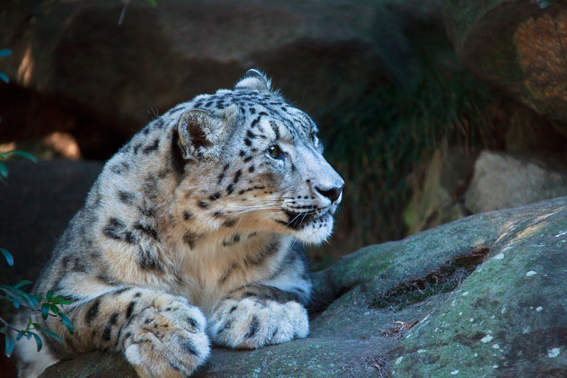 Snow leopard, Taronga Zoo, Mosman, New South Wales, Australia