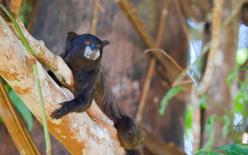 Black-mantled tamarin, Cuyabeno Faunal Reserve, Ecuador