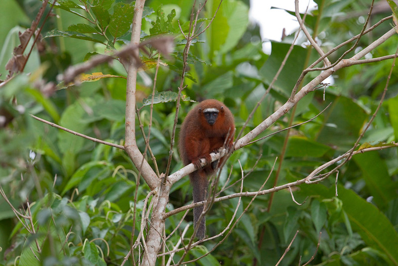 Red titi monkey, Yasuni National Park, Ecuador