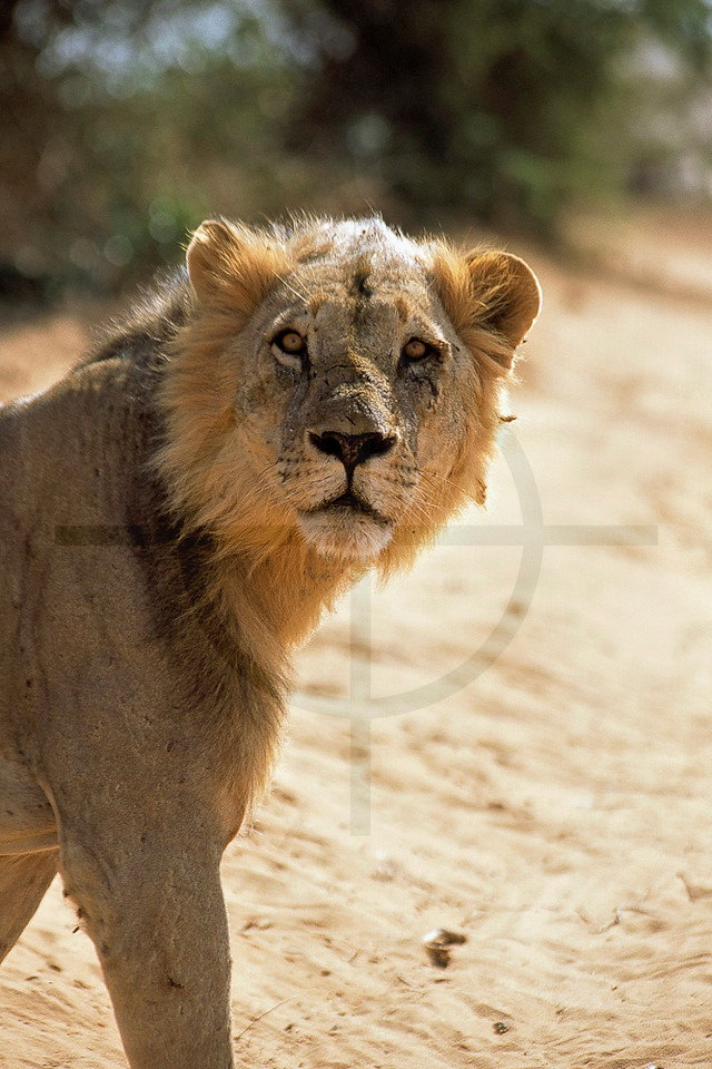 Maneless lion of Tsavo, Tsavo East National Park, Kenya