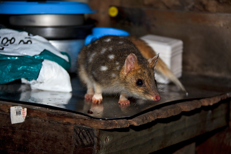 Friends for a night. Sharing the room. Inquisitive eastern quoll looking for food, Kitchen Hut, Overland Track, Cradle Mountain - Lake St Clair National Park, Tasmania, Austalia
