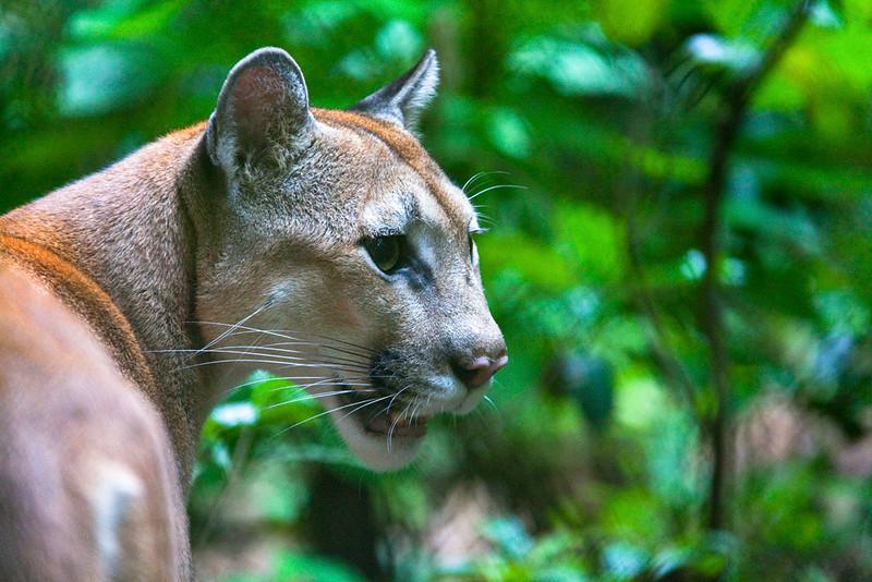 Puma, Zoo Ave, La Garita de Alejuela, Costa Rica