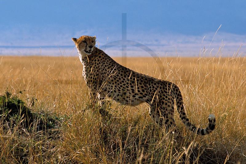 Cheetah on the lookout, Masai Mara National Reserve, Kenya
