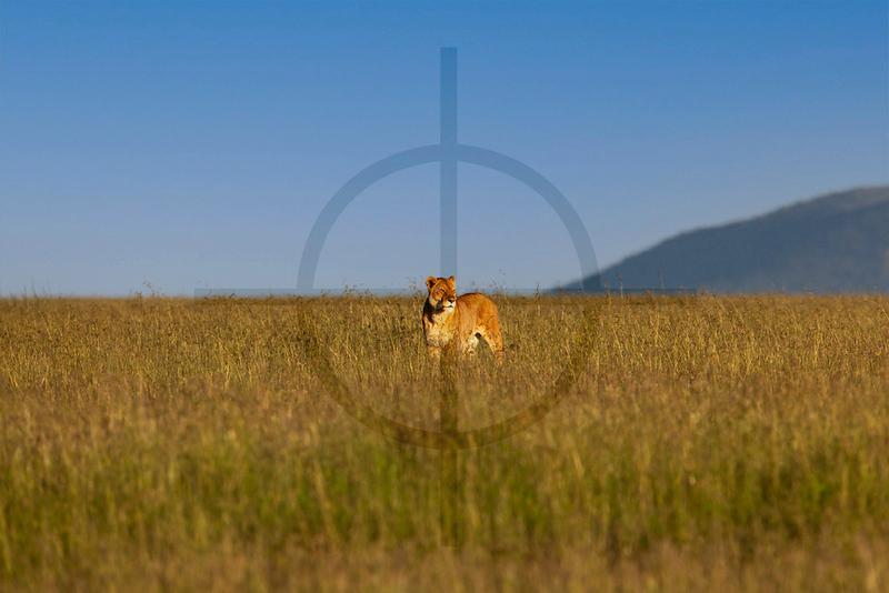Lone lioness on the plains, Serengeti National Park, Tanzania