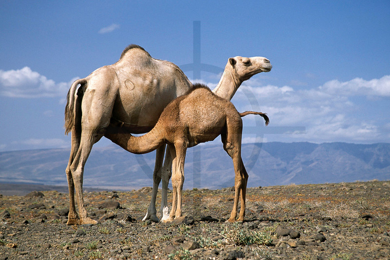 Dromedary with feeding young, Lake Turkana area, Kenya