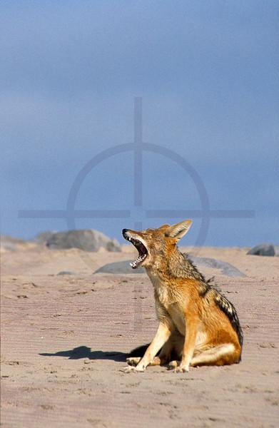 Black-backed jackal yawning, Cape Cross, Namibia