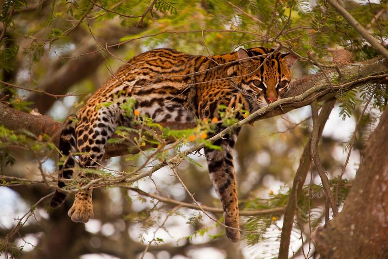 Ocelot resting in tree,  Guayllabamba Zoo, Ecuador
