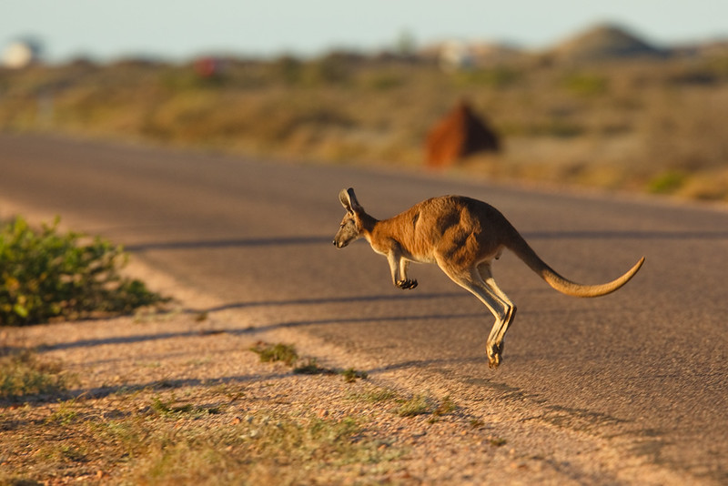 Kangaroo crossing the road, Cape Range National Park, Western Australia, Australia