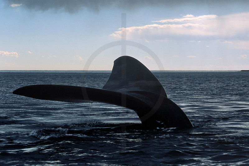 Tail fin of a southern right whale (female), Golfo Nuevo south of Valdes Peninsula, Agentina