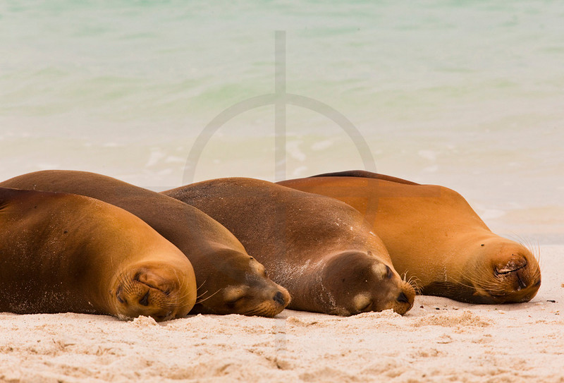 Galápagos sea lions sleeping on beach, Playa Gardner, Españoal, Galápagos Islands, Ecuador