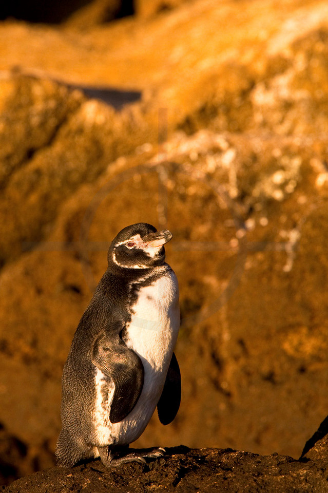 Galápagos penguin, Bartolomé Island near PInnacle Rock, Galápagos Islands, Ecuador
