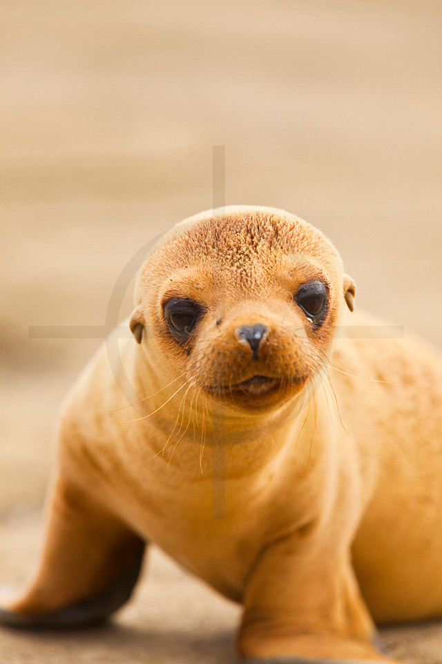 Galápagos sea lion pup on beach, Puerto Egas, Santiago, Galápagos Islands, Ecuador