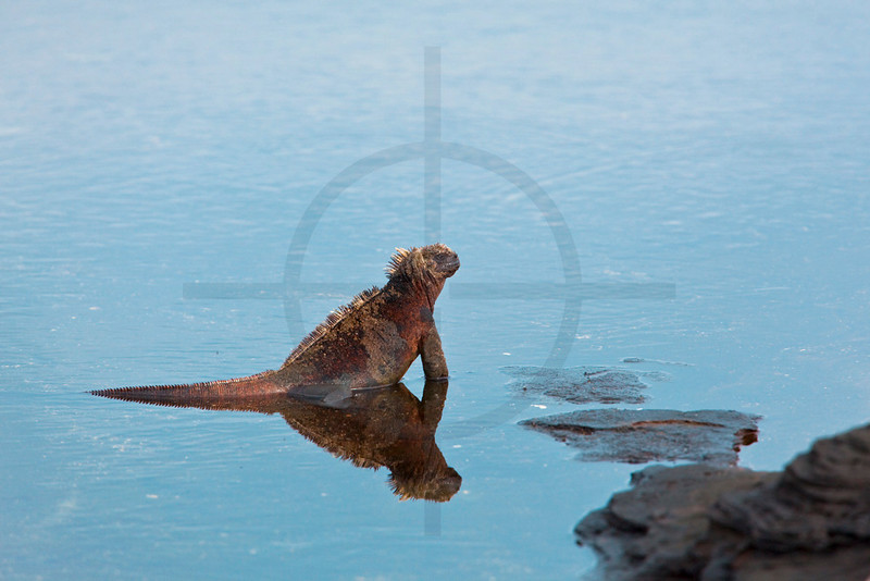 Marine iguana in the water, Puerto Egas, Santiago, Galápagos Islands, Ecuador