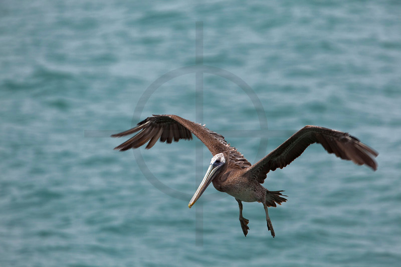 Brown pelican about to touch down, Punta Marenco, Osa Peninsula, Costa Rica