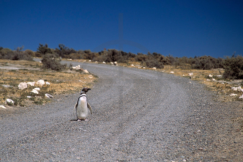 Road tripping magellanic penguin, Punta Tombo Provincial Reserve, Argentina