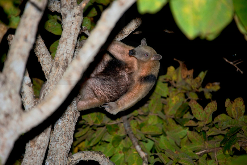 Southern tamandua in a tree at night, Pantanal, Brazil