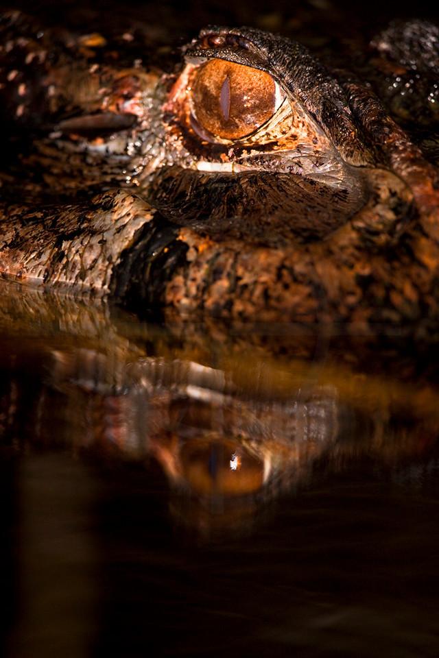 Black caiman hunting at night with bloodsucking mosquito on its eyelid, Yasuní National Park, Ecuador
