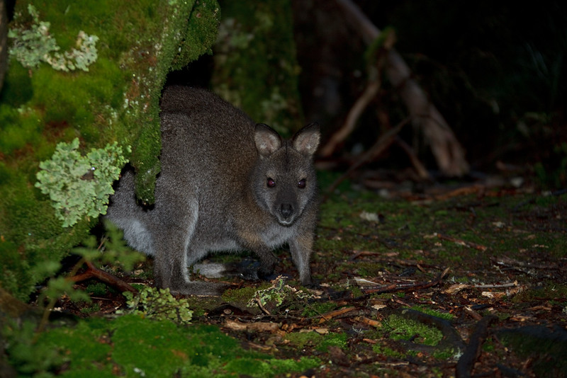 Bennett's wallaby at night, Cradle Mountain - Lake St Clair National Park, Tasmania, Australia