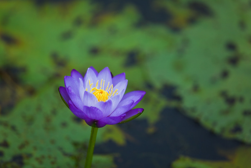 Water lily, Parry Lagoons Nature Reserve, Kimberley Region, Western Australia, Australia