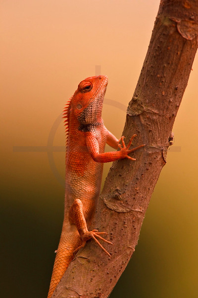 Oriental garden lizard, Terai, Nepal
