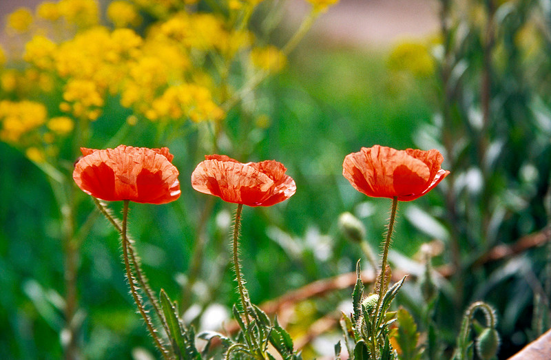 Poppies, High Atlas, Morocco
