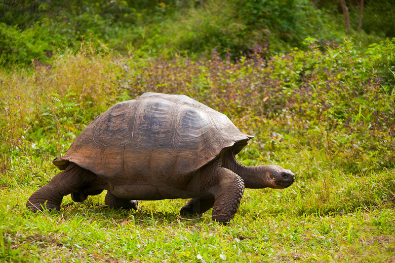 Galápagos tortoise on the move, Charles Darwin Research Station, Santa Cruz, Galápagos Islands, Ecuador
