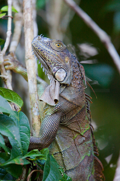 Green iguana (female) climbing in vegetation, Tortuguero National Park, Costa Rica