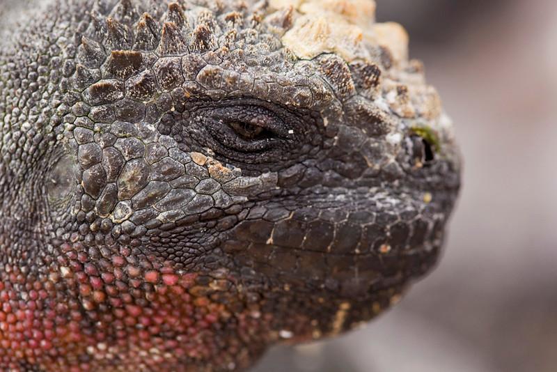 Head of a marine iguana, Punta Suárez, Española, Galápagos Islands, Ecuador