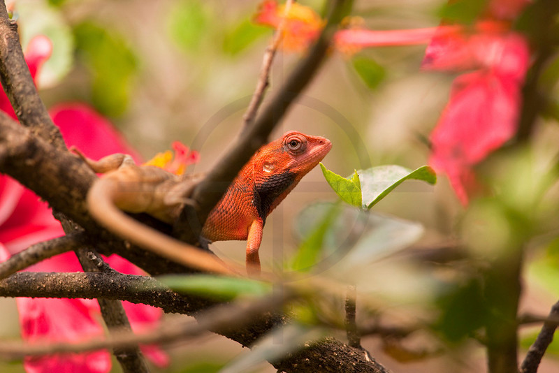 Oriental garden lizard in hibiscus plant, Sauhara, Terai, Nepal