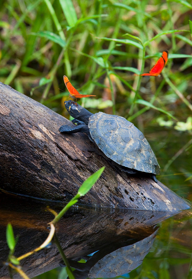 Butterflies bothering a yellow headed river turtle, Yasuní National Park, Ecuador